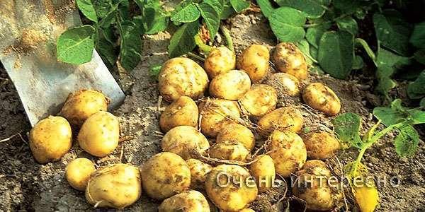 Морський картопля